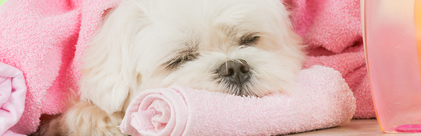 puppy sleeping on a pink wash cloth with a towel for a blanket